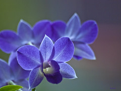 Blue is beautiful (dolorix) Tags: orchid flower nature natur orchidee blume dendrobiumphalaenopsis dolorix