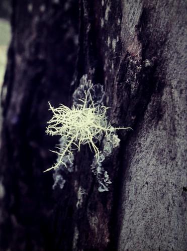 Usnea sp. (Foliose Lichen)