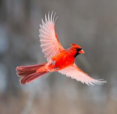 male northern cardinal (C E Andersen) Tags: winter nature kensington km kensingtonmetropark kensingtonnaturetrail