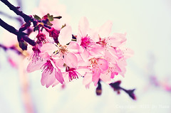 Cherry Blossoms.. ( Nana) Tags: flowers light plant love beautiful cherry spring nikon colorful bokeh blossoms taiwan sakura cherryblossoms lovely   beautifulflower i  d7000 taiwan