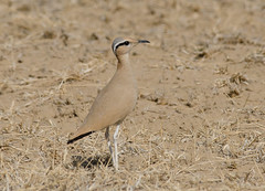 Cream Coloured Courser (Aravind Venkatraman) Tags: morning india bird birds nikon indian birding cream 300mm national dslr aravind coloured birdwatching f4 birder cursor nationalgeographic courser creamcolouredcourser birdphotography cursoriuscursor cursorius 14tc nikondslr birdsindia indiabirds incredibleindia indianbirds birdphotographer dslrnikon nikon300mmf4 avphotography nikon14tc d7000 nikond7000 talchappar d7000nikon aravindvenkatraman