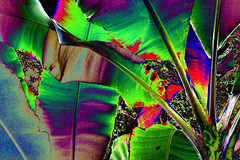(psychedelic world) Tags: leaves colours bananas blätter mannheim bananen luisenpark psychedelicworld