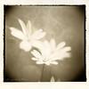 Little dreamy weed in lith (ShimmeringGrains) Tags: 120film lith lithprint filmphotography kodak400tx holgamacro traditionaldarkroom holgagcfn ld20 wetdarkroomprint fotospeedld20 artistictreasurechest shimmeringgrains fomatonemgfb131 warmtonefbpaper