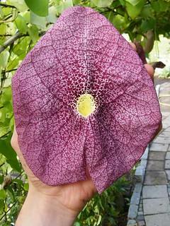 Aristolochia spec. 'Itarana'