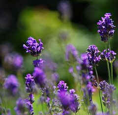 The Lavender Blues! (antonychammond) Tags: flowers blue summer garden purple lavender lavandula supershot thegalaxy lavenderblue flowersarebeautiful gnneniyisithebestofday naturethroughthelens flickrflorescloseupmacros saariysqualitypictures magicmomentsinyourlifelevel1magicmomentsinyourlifelevel2magicmomentsinyourlifelevel3 magicmomentsinyourlifelevel2 magicmomentsinyourlifelevel1 magicmomentsinyourlifelevel3 magicmomentsinyourlifelevel4 vigilantphotographersunite vpu2 vpu3 vpu4 vpu5 vpu6 vpu7 vpu8 vpu9 vpu10