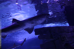 l'aquarium d'Antalya (Dominique Pipet) Tags: turkey aquarium shark photo turquie antalya requin trke akvaryum dompipet dominiquepipet