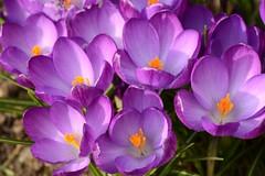 Open Wide (4harmony2 (On & 0ff will catch up soon x )) Tags: flower garden flora nikon purple crocus d7000