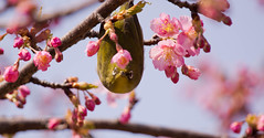 The cherry-blossom season (tubasa-wings) Tags: bird cherryblossoms whiteeyes japanesewhiteeyes