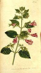 Anglų lietuvių žodynas. Žodis clinopodium grandiflorum reiškia klinopodium grandiflorum lietuviškai.