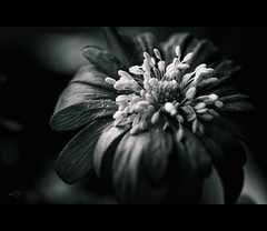 Anemone (Windrschen) (Photofreaks [Thank you for 2.000.000 views]) Tags: bw white black spring anemone anemones schwarzweiss frhling windrschen anemonen schwarzweis adengs wwwphotofreaksws shopphotofreaksws