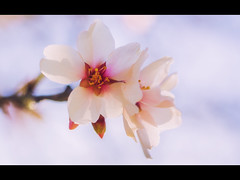 New cycle (jeff_006) Tags: light flower macro tree nature closeup canon 50mm spring branch blossom bokeh olympus petal omd fd f35 em5 flickrsfinestimages1 flickrsfinestimages2