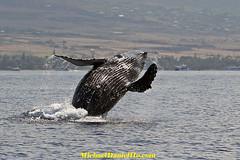Rock and Roll. Let's dance. (MichaelDanielHo) Tags: photography hawaii wildlife watching maui whale humpback breaching abigfave