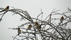 Goldfinch Look Outs (Daisy Waring World) Tags: snowybranches goldfinces