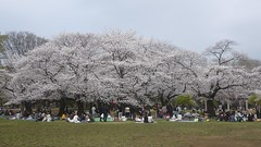 Cherry Blossom Trees in Full Bloom (randomwire) Tags: park trees japan cherry tokyo blossom harajuku  sakura yoyogi hanami