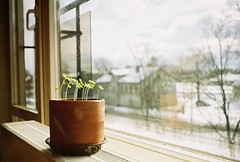 my sister grows her own basil (Liis Klammer) Tags: sunlight plant film window analog 35mm spring bokeh basil zenit herb sprouting zenitem