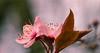 Flowering Plum Blosom (Eye of G Photography) Tags: flowers usa macro places northamerica washingtonstate floweringplum lakestevens