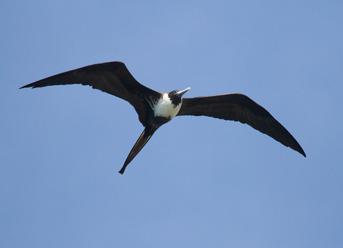 Magnificent Frigatebird Female (Fregata magnificens) - Punta Mita, Nayarit, Mexico - March 20, 2013