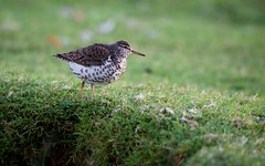 Sandpiper in the Grass (imageClear) Tags: nature beauty grass wisconsin aperture nikon flickr sandpiper sheboygan photostream northpoint 80400mm d600 spottedsandpiper birdphotography imageclear