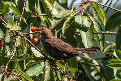 Thieving Blackbird (Andrew Mawby) Tags: cherries turdusmerula blackbird birdeatingcherries