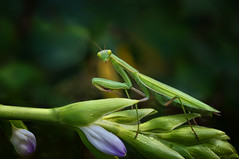 Brighter Than the Moon Moon Moon (kathybaca) Tags: animal animals macro mantis praying preying chinese northamerica predator insect insects world planet earth light inverts invertabrate