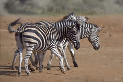 Two is company three is a crowd (Sumarie Slabber) Tags: zebras three sumarieslabber southafrica wildlife animals pilanesbergnationalpark nikon nikond750 animal veld southafricatravel wildanimals nature stripes