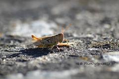 Sauterelle (PhotOw'graphie) Tags: sauterelle insecte nature faune sauvage miniature petit beau extrieur t soleil soir naturel libert libre
