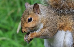 Grey Squirrel 300616 (16) (Richard Collier - Wildlife and Travel Photography) Tags: wildlife naturalhistory mammals squirrel greysquirrel british