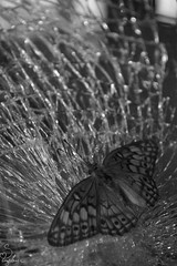 Impact bw (Sarah_Brigham) Tags: impact collision crash broken glass shatter shattered butterfly insect bug animal nature black white gray blackandwhite lines texture contrast window windshield car abstract strange nikon photography closeup macro nikond5200