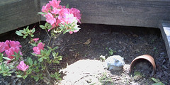 2005-05-15 azalea with frog (TheHornedOwl) Tags: plant corinth frog azaleas pink flower bush