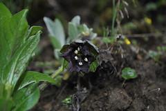 Mandragora caulescens Hong Shan June 2016 (Aidehua2013) Tags: solanaceae mandragora caulescens solanales himalayanmandrake plant flower hongshan yunnan china