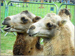 Contentment .. (** Janets Photos **) Tags: uk hull publicparks events shows camels