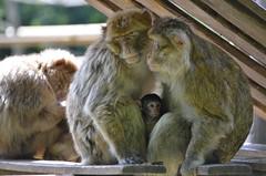 Family (dfromonteil) Tags: monkey singe animal famille family baby nature bokeh light moment
