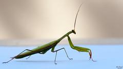 Mante religieuse (Tophe54) Tags: insect macro sony tamron 70300mm mantereligieuse flickrunitedwinner mantis