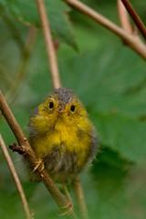 The runt of the nest (Simon Valdez-Juarez) Tags: wilsons warbler cardelina pusila runt nestling burnaby bc canada