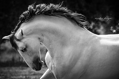 Find me where the wild things are (giulia_basaglia) Tags: horse stallion equestrian blackwhite gray white animal sunny elegance powerful freedom