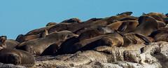 Colonia de focas en la Peninsula del Cabo, Sudafrica (Francesc Farran) Tags: focas sudafrica peninsuladelcabo fauna