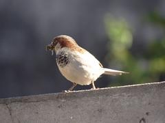 DSC05816 Pardal (familiapratta) Tags: sony dschx100v hx100v iso100 natureza pssaro pssaros aves nature bird birds novaodessa novaodessasp brasil