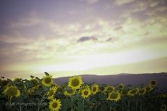 sunf(ol)lowers (mamuangsuk) Tags: sunfollowers sunflowers tournesols girasoli sonnenblumen sunsetoversunflowers summersunset sunflowerfield country warmtones yellowflowers fillinflash manualexposure mamuangsuk