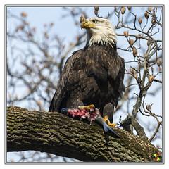 Bald Eagle (Crested Aperture Photography) Tags: maryland usa us haliaeetusleucocephalus conowingodam raptor raptors eagle eagles baldeagle americanbaldeagle crestedaperture