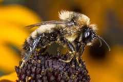 Hard at Work (Tworedheads01) Tags: garden blackeyedsusan coneflower yellow black bug flash