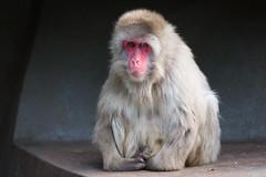 2016-08-27-19h46m01.BL7R4660 (A.J. Haverkamp) Tags: canonef100400mmf4556lisiiusmlens amsterdam zoo dierentuin httpwwwartisnl artis thenetherlands japansemakaak japanesemacaque