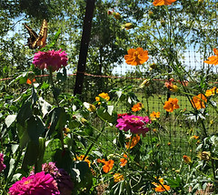 """back to the garden"" Joni Mitchell (glantine) Tags: backtothegarden citation quote garden jardin zinnias cosmos song celebration jonimitchell swallowtail cheznous colourful floral butterfly giantswallowtail papillon"