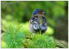 Chaffinch (shillphotography001) Tags: chaffinch birds colorful colourful pine tree nature outdoors shill photography