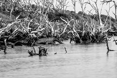 Skeleton Beach (Emanuel Dragoi Photography) Tags: big talbot island state park florida bw black white blackwhite beach trees water