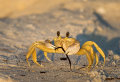 Breakfast (Happy Photographer) Tags: ghost crab eating florida beach gulfofmexico nikon200500f56 amyhudechek wildlife