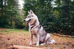 tongue out pose, extreme color trying (Roos van Gent Photography) Tags: siberianhusky hikingwithdogs traildog forest dogphotography sleepy huskypuppy