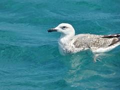 Floating (pandorahoshii) Tags: seagull bird water sea blue floating