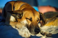 Golden tan... (petrapetruta) Tags: sleeping dog cute colorful sunny sonya7
