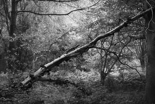 Crackley Birch