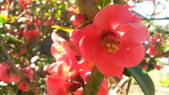 GALICIA - Camellia sasanqua (LUAL audiovisual) Tags: flower camellia camelia flor primavera floracin naturaleza natural nature rojo verde hermoso bello descubrir perfume aroma ramo ptalos
